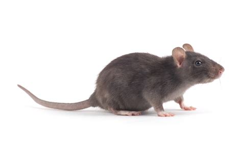 comment chasser un rat dans la maison