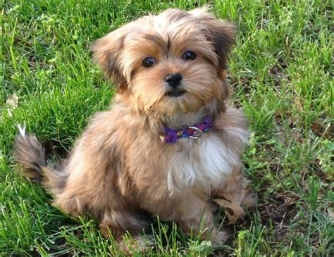 78 Best Images About Shorkies Haircuts On Pinterest
