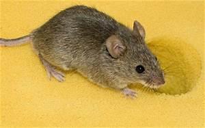 Unterschied Maus Ratte : bek mpa m ss r ttor k p utrustning hos ~ Lizthompson.info Haus und Dekorationen