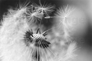 Pusteblume Schwarz Weiß Vögel : julia delgado pusteblume verliert schirmchen schwarzwei poster online bestellen posterlounge ~ Orissabook.com Haus und Dekorationen