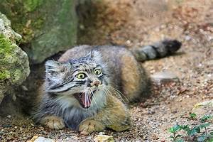 The Manul Cat Is The Most Expressive Cat In The World ...