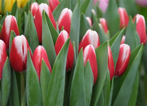 tulip pictures tulip flower pictures interesting tulip facts tulips in holland
