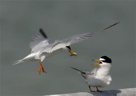 little terns courtship behaviour bird ecology study group