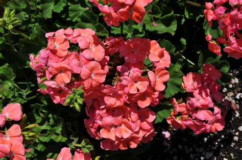 annual plant annuals flowers usage in your garden landscaping gardening ideas