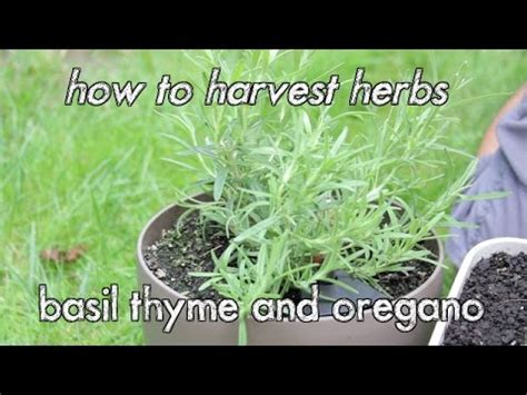 how to harvest herbs how to harvest herbs basil thyme and oregano youtube