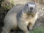 Alpine marmot - Wikipedia