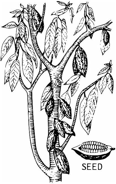 Cacao Cocoa Bean Tree Seed Plant Vector