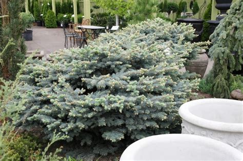 growing  tiny evergreens pack big esthetic punch