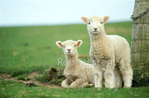 spring lambs sheep otago peninsula  zealand nz