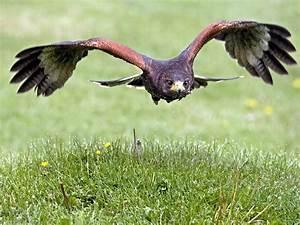 Hawk Pictures - Beautiful Hawk Bird Pictures
