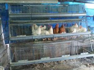 Gabbie Per Galline Usate - gabbia per galline posot class