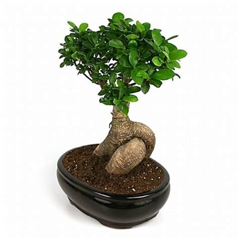 Bonsai Ficus Ginseng Pflege by Bonsai Large Ginseng Ficus Bonsai From Easternleaf
