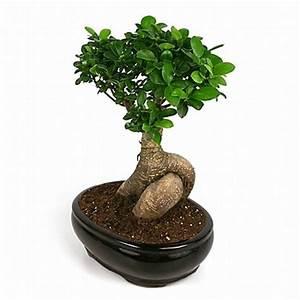 Bonsai Ficus Ginseng : bonsai large ginseng ficus bonsai from the large ginseng ficus has a ~ Buech-reservation.com Haus und Dekorationen