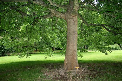 Fraxinus latifolia - Wikipedia