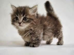 how much are munchkin cats there s a breed of cats most don t about and