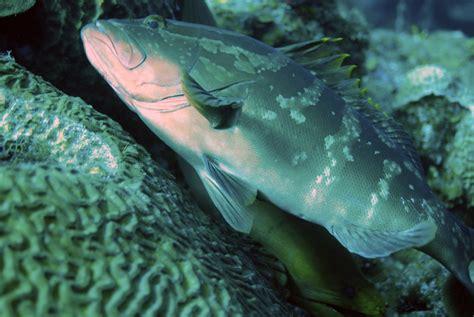 grouper eel