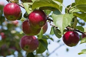 Fertilizing Apple Trees In The Garden  Learn About