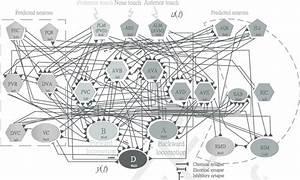 Diagram  Diagram Of The C Elegans Motor Neuron Circuit