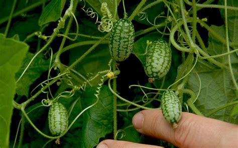 Mini Gurken Pflanzen Kaufen mexikanische mini gurke saatgut melothria scabra