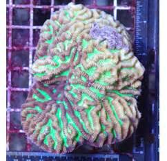 Neon Green Maze Brain Coral 4 5 x 3 inch Platygyra spp