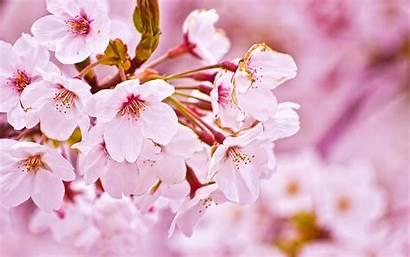 Cherry Blossom Blossoms Flower National Festival Sakura