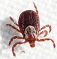 Rocky Mountain spotted fever causes, symptoms, rash and ...