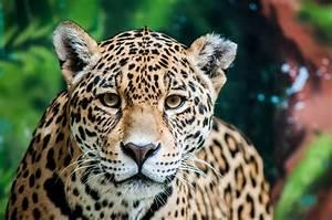 Spotting Jaguars in South America | Southern Explorations  Jaguar