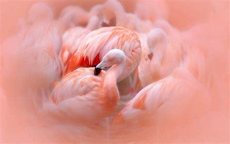 fonds decran des flamants roses des plumes roses floues