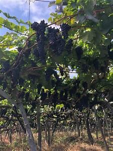 Menorah Lighting Rules Pergola Vine Training Systems In Madeira 1 Hillrag