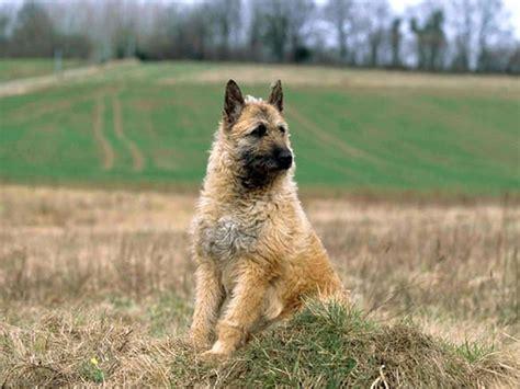 le berger for sale laekenois photo belgian shepherd laekenois belgian shepherd laekenois belgian
