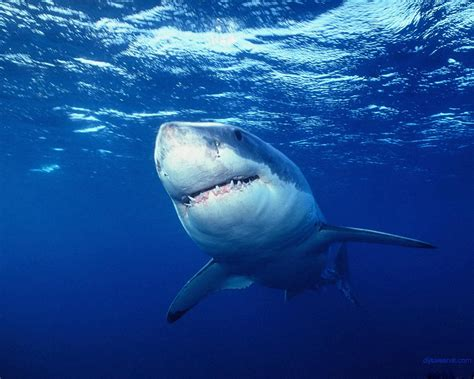 amazing great white shark facts great white shark