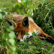 Red Fox Wildlife Photography