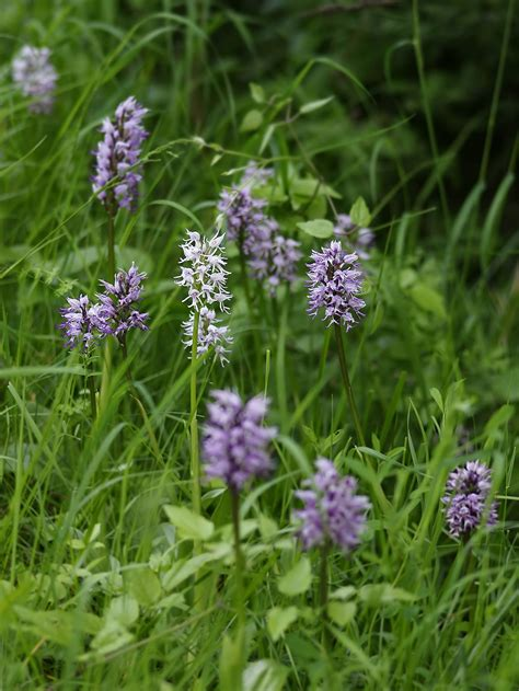 Orchis simia - Wikimedia Commons