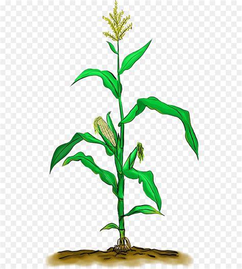 paling inspiratif gambar pohon jagung animasi