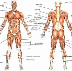 Muscle Labeling Worksheets  U2013 Odmartlifestyle Com