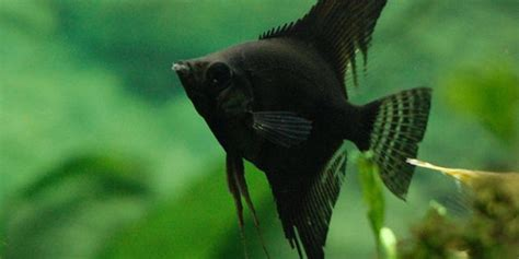 types  freshwater angelfish  aquarium guide