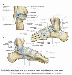 anatomy of the lower leg, ankle and foot   Musculoskeletal Key