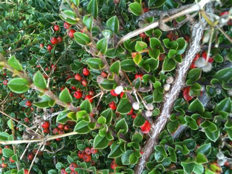 berried shrub bushes with red berries poisonous