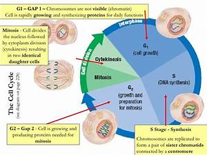 Cell Cycle  Dna  And Protein Synthesis Notes New