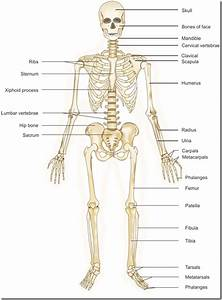 Body Systems Flashcards  Gt Biology With