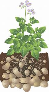 Potatoes For The Backyard Gardener