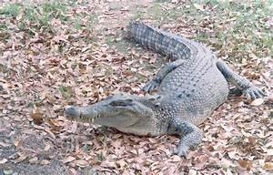 A Photograph Of An Adult Saltwater Crocodile In The