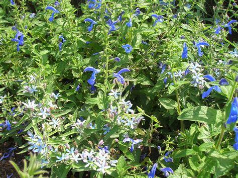 growing perennials how to grow perennial salvia caring for perennial salvia