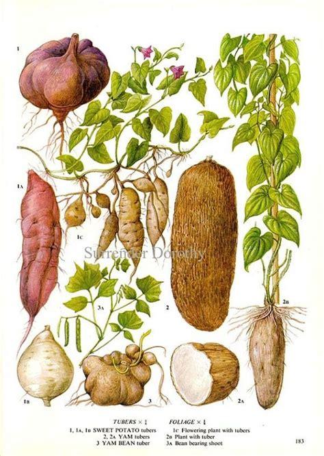 Sweet Potato Yam Vegetable Plant Flowers Food Chart