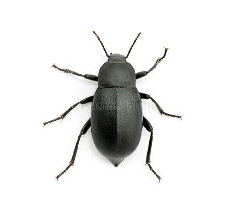 Schwarzer Käfer Stockfoto Bild Von Antenne, Raub, Tier