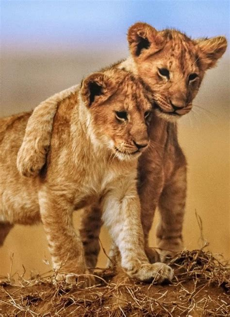 cute cub baby lion animal awesome friendship mobile