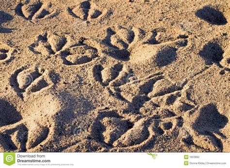 animal tracks   sand stock photography image