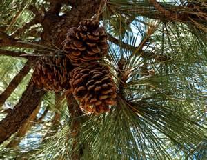 my 2013 calendar for december pine cones up the pine tree milka pejovic