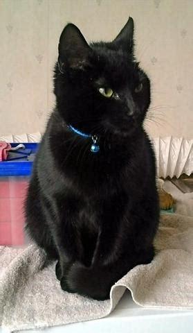 ist meine katze wirklich eine bombay katze katzenrasse