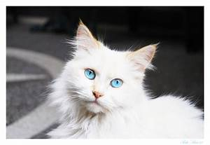 Black Persian Cat With Blue Eyes Wallpaper Fluffy White ...